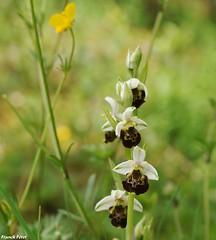 Ophrys Bourdon - Echay