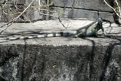 Fort-De-France Iguana In Town