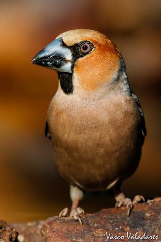 Bico-grossudo ou Trinca-pinhão, Hawfinch  (Coccothraustes coccothraustes)
