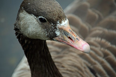 Water fowl at Barnes Pond