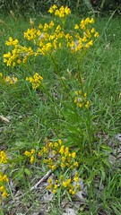 Small's Ragwort blooming (Packera anonyma), Dowell Road and Gideon Lane, Solomons Island Quad, Calvert County, MD, 2019_0527