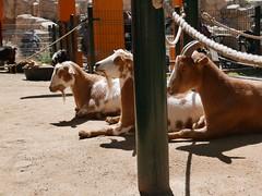 Sunbathing goats