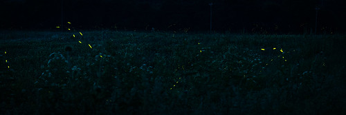 Field of fireflies