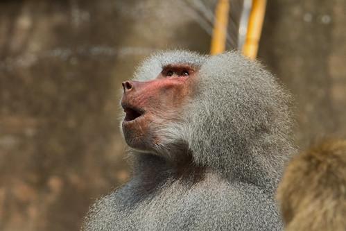 Hamadryas baboon (Papio hamadryas) - Paignton Zoo, Devon - May 2019