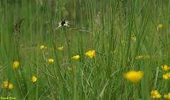 l'Ascalaphe dans les herbes - Echay