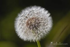 Soft round Dandelion