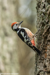Middle-spotted Woodpecker - Bialowieca - Poland CD5A0086