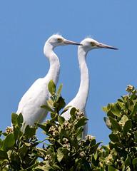 Pair of Juvenile Little Blue Herons