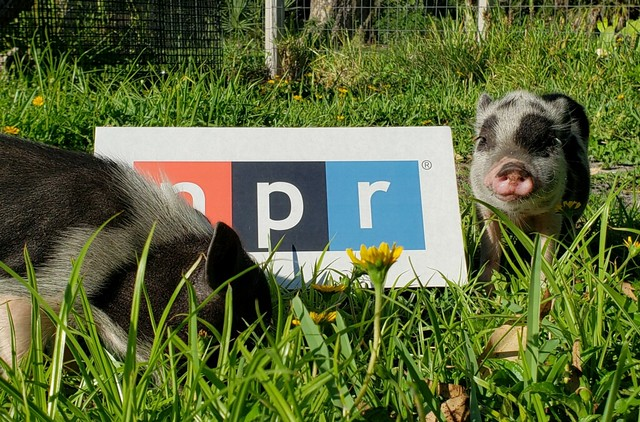 Porkchop the Piglet from Fort Myers