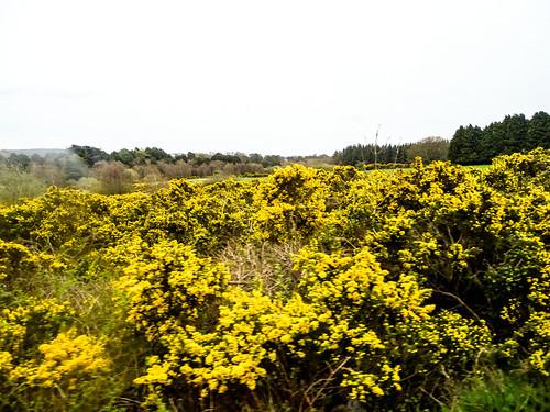 Ireland gorse in bloom