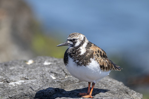 Ruddy Turnstone Watching the Ocean