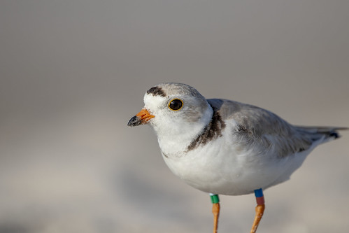 Piping Plover watching the sun rise