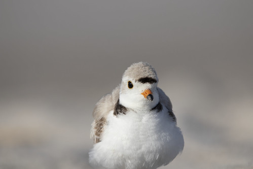Piping Plover Showing off His Feathers