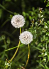 Dandelion Seedheads