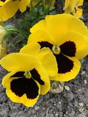 'Dans mes pensées', Pensées, Viola tricolor L., parc du château de Morsang-sur-Orge (France)