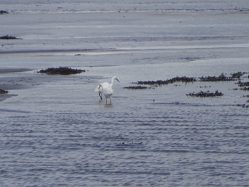Little Egret. Tralee Bay
