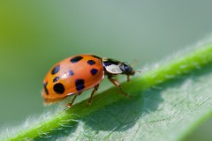 Coccinelle - Photo of Chauffry