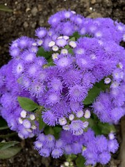 'Ageratum du Mexique', Ageratum houstonianum Mill., Savigny-sur-Orge (France) - Photo of Soisy-sur-Seine