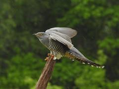 Birds - Cuckoos