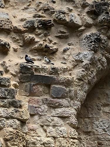 Pigeons à Sourzac (Dordogne, France)