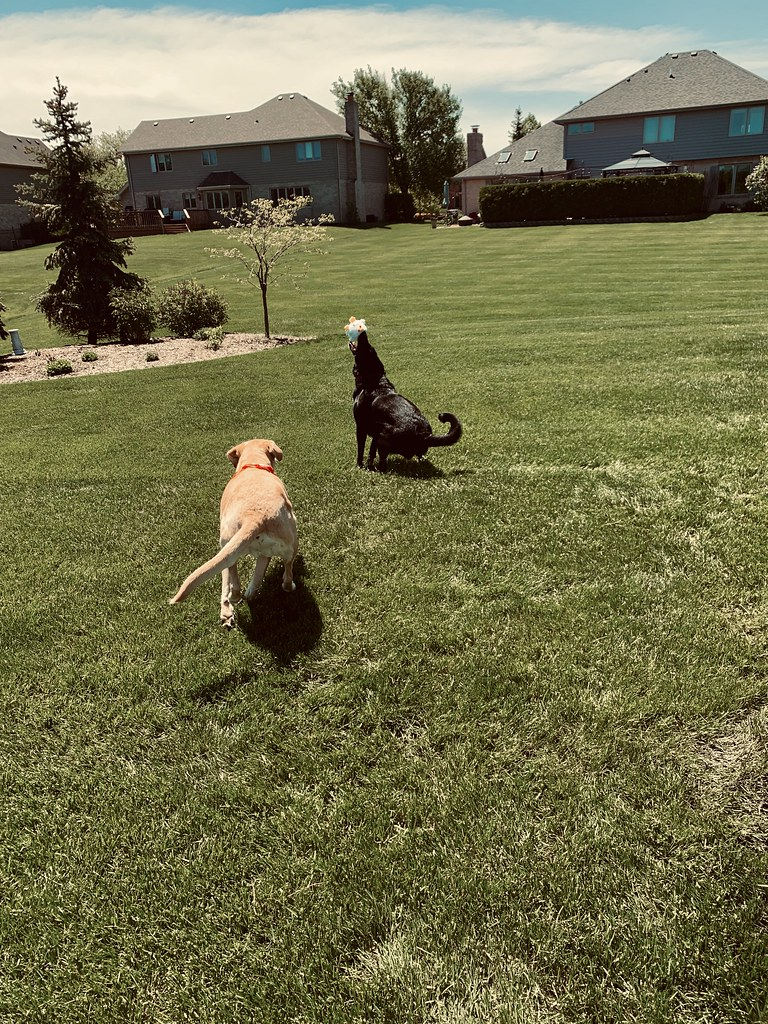 Caught it  || Schatzi - Labrador Retriever & Lucy - Boxer