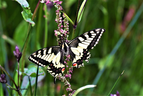 0261 Koninginnenpage (Papilio machaon) Swallowtail