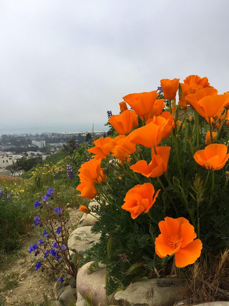 Poppies Over Ventura
