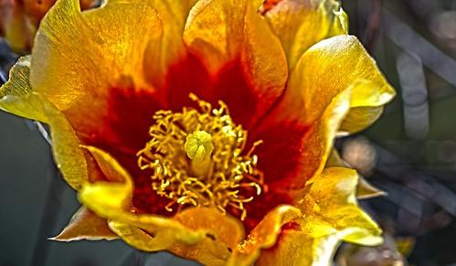 Opuntia Flower Close Up BBNP DSC_3486