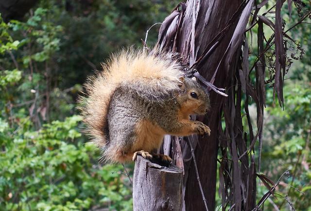 Squirrel on ironwood tree