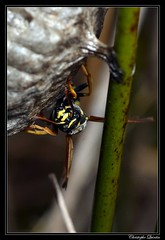 Polistes nimpha - Photo of Saint-Brisson