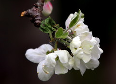 The flowers of the appletree