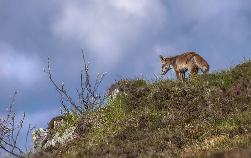 le renard en balade matinale
