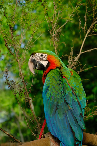 The handsome Macaw