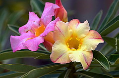 Quinta-flower 5