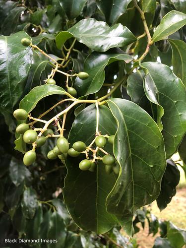 Pennantia cunninghamii - Brown Beech