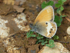 Pearly Heath (Coenonympha arcania) - Photo of Cause-de-Clérans