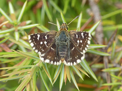 Red-underwing Skipper (Spialia sertorius) - Photo of Cause-de-Clérans