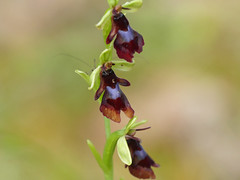 Fly Orchid (Ophrys insectifera) - Photo of Pezuls