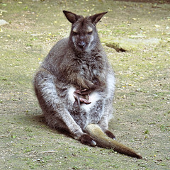 Wallaby at Natur Zoo de Mervent France