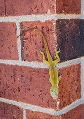 Big Green anole