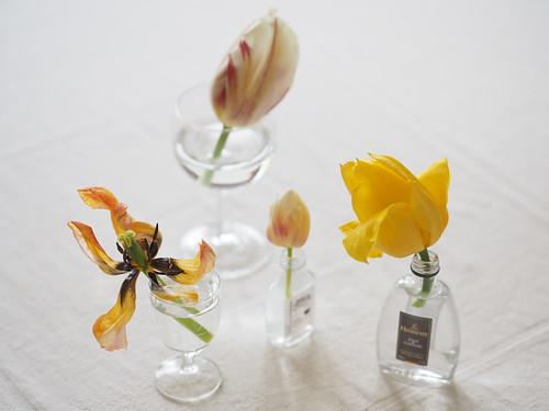 Tulpe Blüte welk verwelkt alt © Tulip Blossom withering fading old decay ©