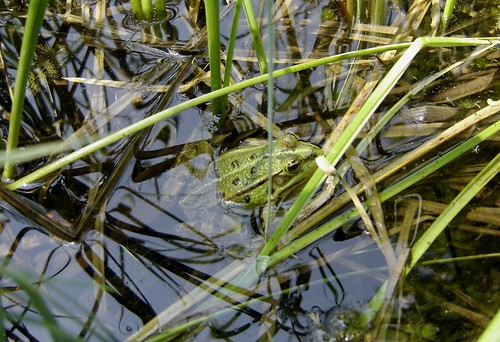 Grenouille verte (rana esculenta)