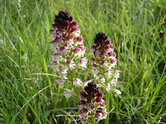 Orchis brulé (Orchis ustulata)