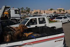 Przygotowania do targu kóz w Nizwie