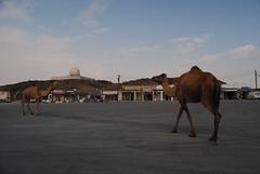 na wielbłądy nalezy uważac nawet na stacjach bendzynowych!