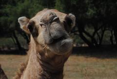 Wielbłąd w Wadi Darbat