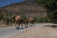 Na południu nietrudno spotkać wielbłądy!