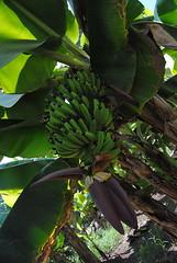 Plantacje bananów w Al Hisn