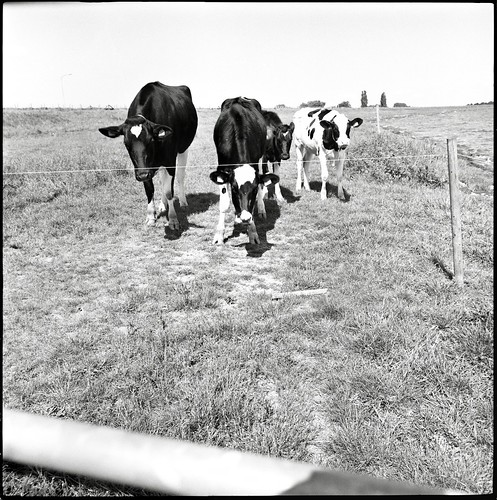 curious-cows