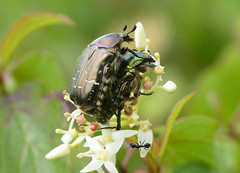 Rose Chafer beetle (Cetonia aurata) - Photo of Baneuil